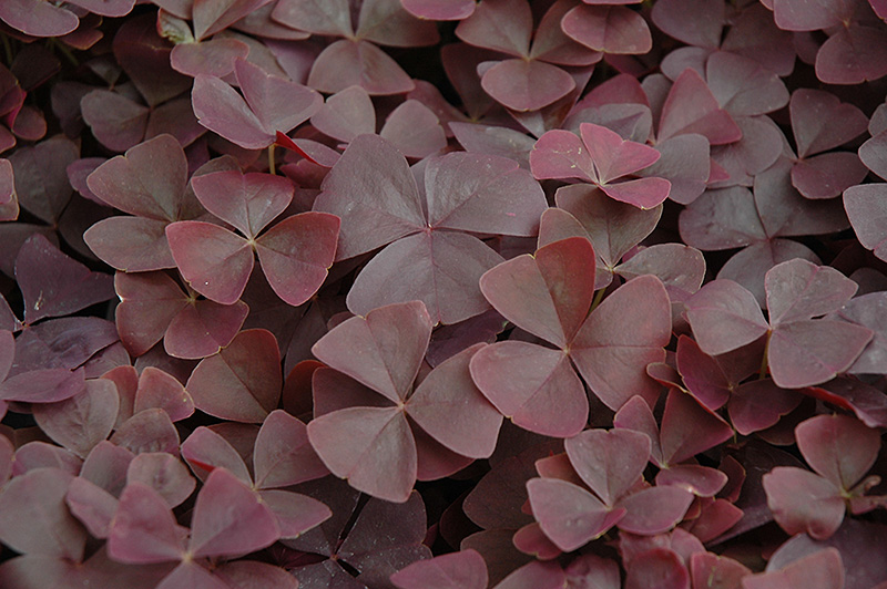 oxalis - Szczawik (Oxalis L.) - a species of plants from the family Oxalis (Oxalidaceae). This is a very nume