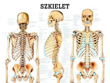 Skeleton - A hard anatomical structure that is part of the animal's body. The skeleton can be made of orga