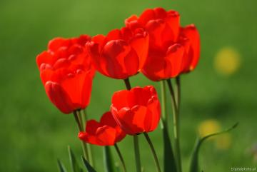 RED TULIPS - Tulip - a type of bulbous plants belonging to the lily family. It includes about 120 species and at