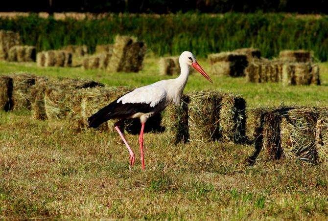 Cicogna bianca - Questi uccelli stanno tornando in Polonia più o meno a marzo o aprile. Perché tanti bambini sono n