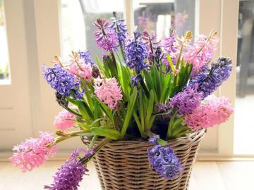 Hyacinth - Several species of Brodiea, Scilla and other plants that were previously classified in the lily fami