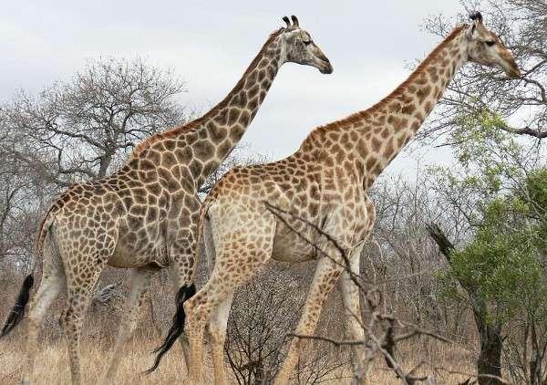 Animale girafe