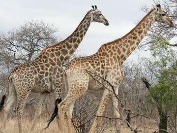 Animaux de la girafe - La girafe (Giraffa) est un type de mammifère africain à sabots fendus, le plus élevé des animaux