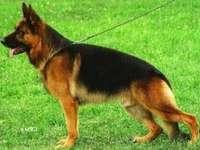 Een prachtige hond - Duitse herder op een wandeling onder groen gras