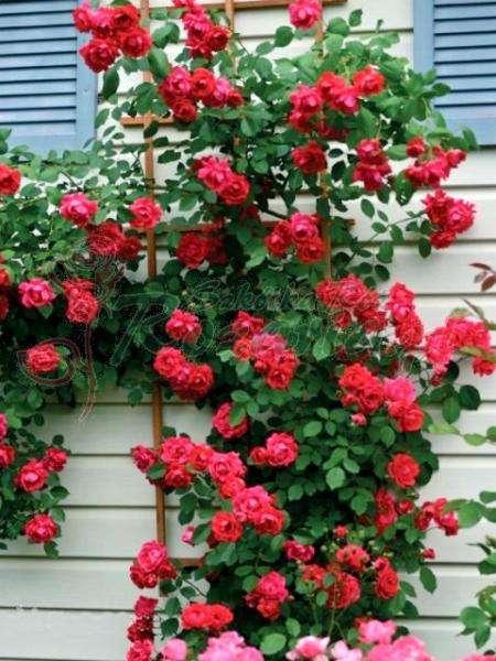 Trandafiri înfiorători