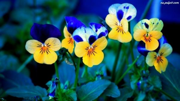 Stiefmuetterchen Blumen - Fleurs. Bukiecik kwiatków - bratki dla niej und dla niego. Blumen (5×3)