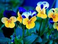 Árvácskák virágok - Fleurs. Egy csokor virágot - árvácskák neki és neki. Virágok.