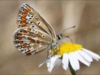 Синя прическа на пеперуда