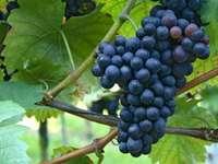 Клонче грозде