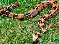Boa констрикторна змия