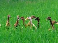 DuckCousins