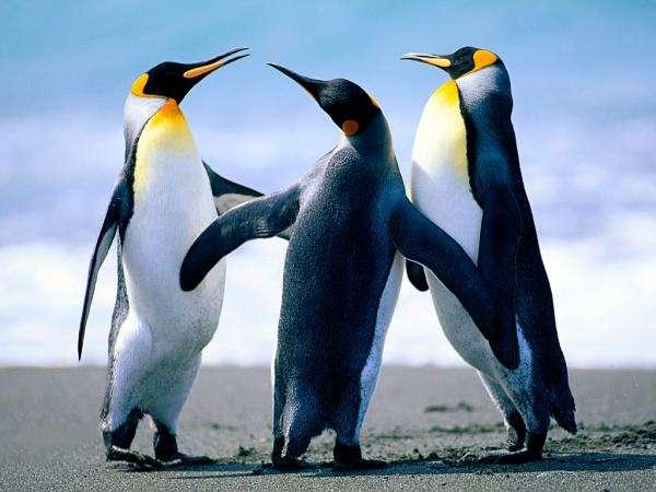 pingues lutos храна - Птици, които не летят. Забавни танцуващи пингвини. Пингвини, пингвини играят. Пингвини, Антарктида. Три стоящи (2×2)
