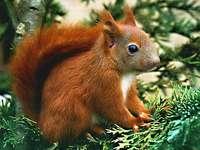 Veverița roșie