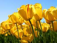 fiori per i più belli - Testforecho. Tulipani gialli. Bei tulipani. Tulipani. Tulipani 020. Fiori della natura. Tulipanki. K