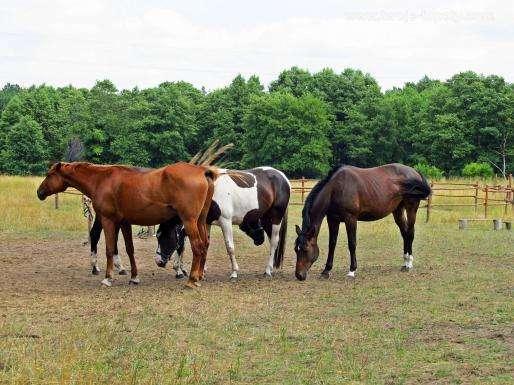 Cavalos no Prado quebra-cabeça online