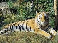 Siberian tiger - Panthera tigris - kotek duży