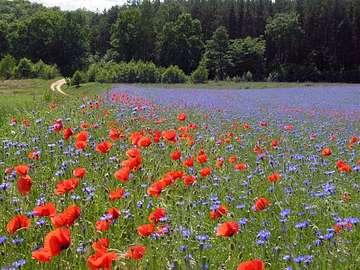 primavera nel prato - czerwone maki i niebieskie bławatki
