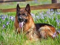 German Shepherd - piękny owczarek w irysach