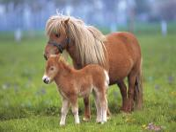 Pony Shetland due b
