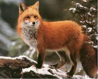 volpe in inverno - po ułożeniu dowiedzcie się o lisach (5×5)