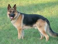 il mio cane preferito - Per scherzo duży owczarek niemiecki długowłosy