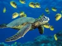 морски пейзаж - Морска костенурка. Зеленикава костенурка. Зелена кост�