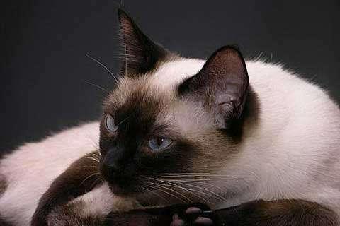 Thaise kat - Thaise, Siamese kat :) (5×5)