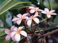 frangipari цветя