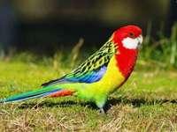 Colorful parrot - Papuga Rozella białolica