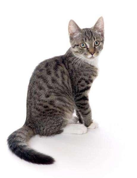 gato doméstico - Spróbuj ułożyć kota (2×3)