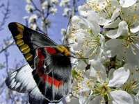 Blommande äppelträd och fjäril - Uroki wiosny w sadzie