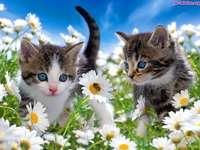 kotki słotkie dwa - Koty na łonce. Dwa kotki w rumiankach. na jednym z kwiatków siedzi pszczoła. Kocięta spędzą mi