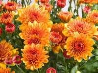 gyönyörű dáliák virág a kertben