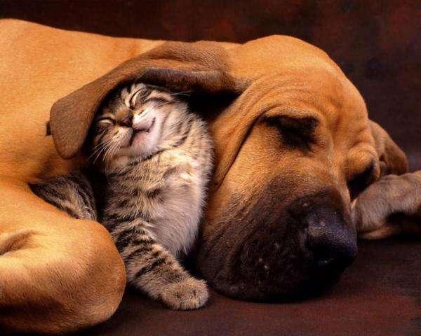 Schattige dieren - Een schattige foto van dieren grote hond en kleine kat in puzzels (7×7)