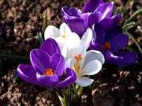 Vårkrokusar - Ordna pussel så ser du vad blomman gömde sig där