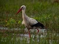 stork från Polen