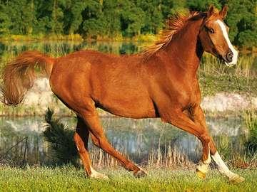 Natura - Cheval au galop  - Natura - Koń w galopie