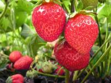 czerwone truskawki - pyszne, dojrzałe, czerwone truskawki