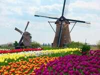 sárga és rózsaszín tulipánok