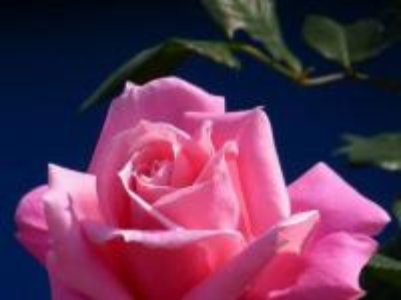 pink rose - moja też ładna róża