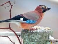 Jay madár - Bemutattam egy fickót. A képet rendezze puzzle-ként. Sok szerencsét!!!