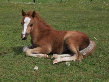 horse on the grass - młode źrebie na trawie