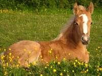 Pools paard