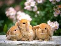 piccolo coniglio rosso - słodkie maleństwa zwierzątka