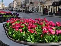daisies - czerwona rabata stokrotek