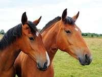 doi cai sau o pereche