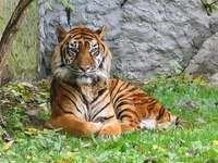 tigru în iarbă - tigrul și chipul său amenințător