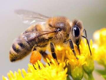 honingbij - Zet de bij op de bloem