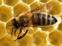 пчела на пчелна пита - Поставете пчелата върху пчелната пита.