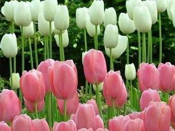 λευκό και ροζ - λευκό-ροζ χαλί με τουλίπα